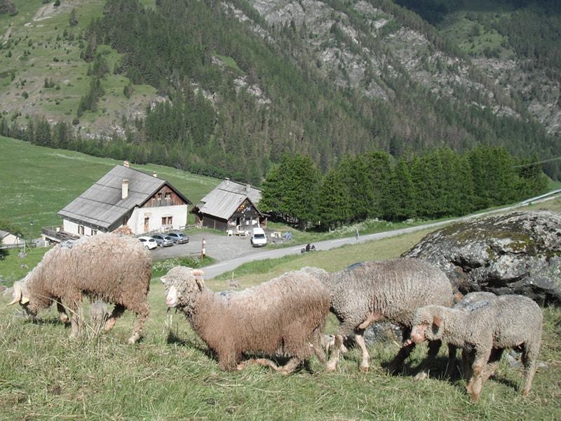 mouton-estoilies